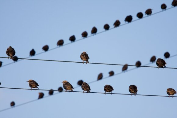 Senos elektros linijų atramos paukščiams gali tapti spąstais