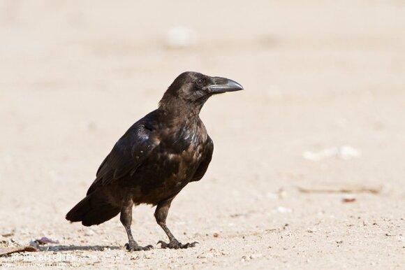 Kranklys (Corvus corax)