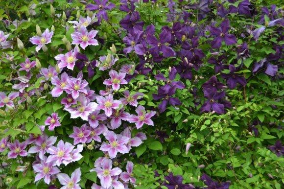 Raganės tik pavadinimas yra grėsmingas, šiaip šis vijoklinis augalas labai puošnus ir gali žydėti įvairiaspalviais žiedais.
