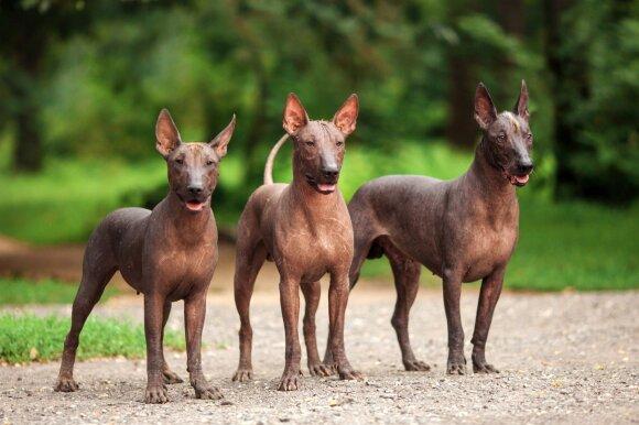 Meksikos plikasis šuo