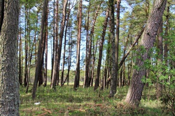 Lietuvos miškų paveikslas: kodėl pušynais džiaugiasi tik pajūris ir Dzūkija?