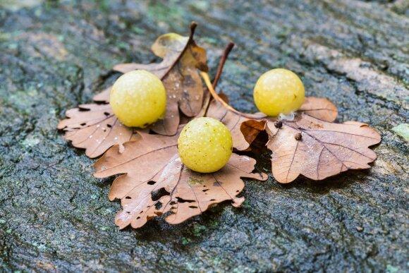 Obuolio formos dariniai ant ąžuolų: kas tai?