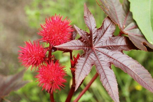Ricinmedis (Ricinus communis)
