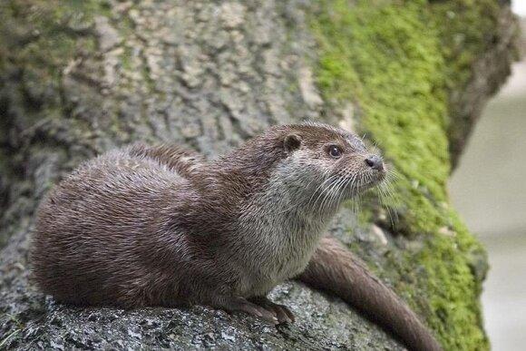 Šis žavus gyvūnas patinka ne visiems: gyvenantys nuošaliau skaičiuoja nuostolius