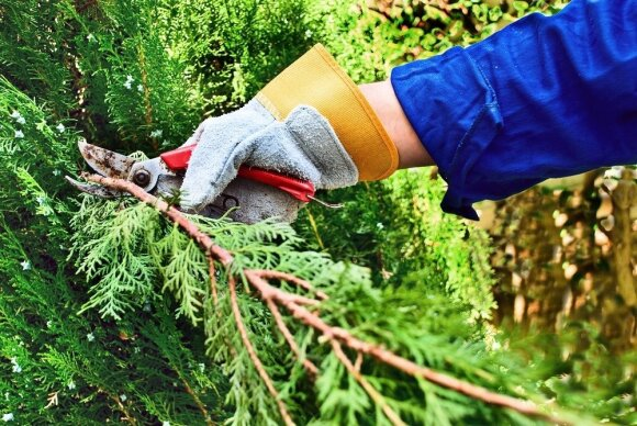 Rudeninis medžių ir krūmų genėjimas: kaip tai daryti teisingai