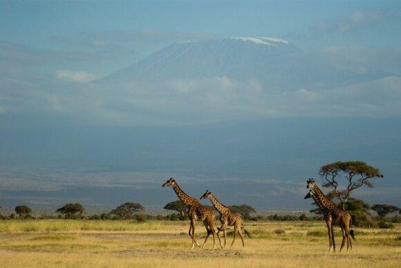 Kilimandžaro nacionalinis parkas, Tanzanija (CC BY 2.0 / Jalil Arfaoui)