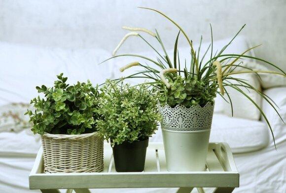 Kokius kambarinius augalus geriausia rinktis: vieni energijos suteikia, kiti ją atima