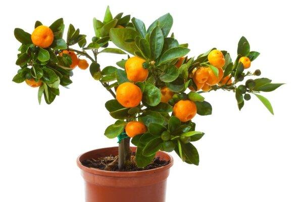 Saldžių mandarinų galite užsiauginti tiesiog ant palangės