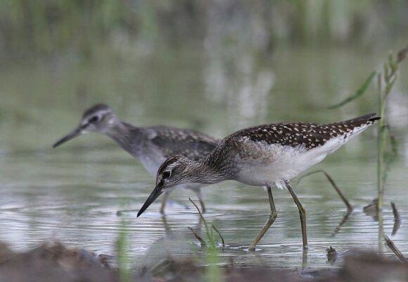 Jau liepos mėnesį prasidėjo tilvikinių paukščių migracija. Tikučiai