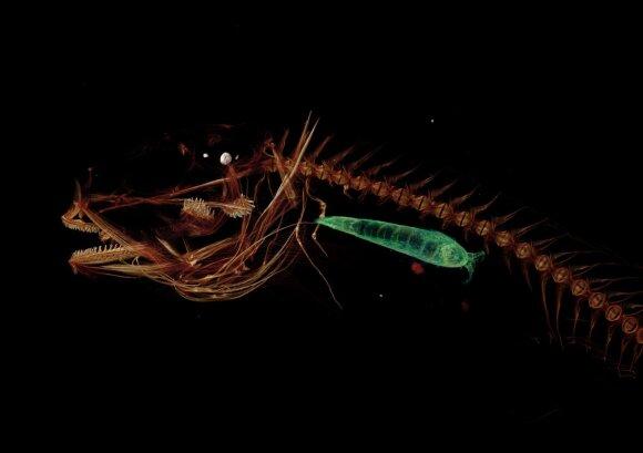 Marianų gleiviažuvės (angl. Mariana snailfish) kompiuterinės tomografijos nuotrauka