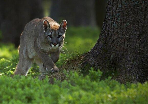 Puma (asociatyvi nuotr.)