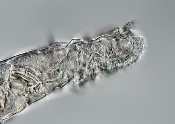 Radioaktyvios anglies metodo tyrimo metu nustatyta, kad gyvio bdelloid rotifer rūšiai yra maždaug nuo 23,960 iki 24,485 metų.