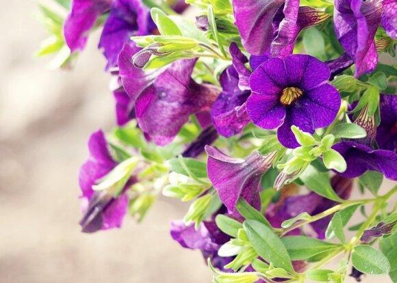 Balkonų gėlės: iki šiol pirkote lepiausias to nė nežinodami