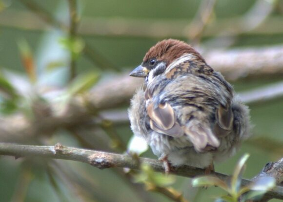 Žvirblis pasišiaušė prieš rudens vėją