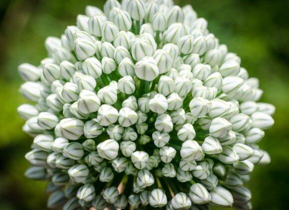 Svogūninės gėlės: sodiname rudenį, kad žydėtų kuo ilgiau