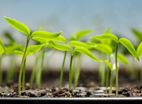 16 klaidų, kurių daigindami augalus neišvengia ir labiausiai patyrę sodininkai