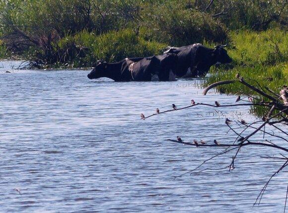 Draudimų nepaisančios karvės brenda į vandenį