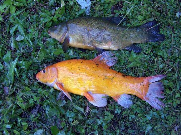2 kg svėręs auksinis lynas, sugautas Galvės ežere (Trakų sav.)
