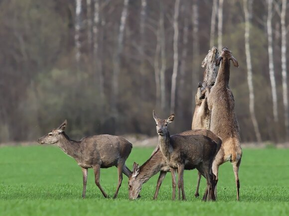 Giriose – paslaptingi garsai: gamtininkai be jų priežiūros pataria į mišką neiti