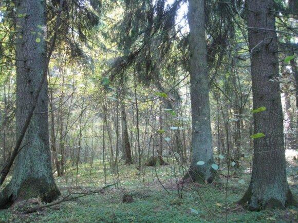 Lietuvos miškai turtingi vertingomis eglėmis