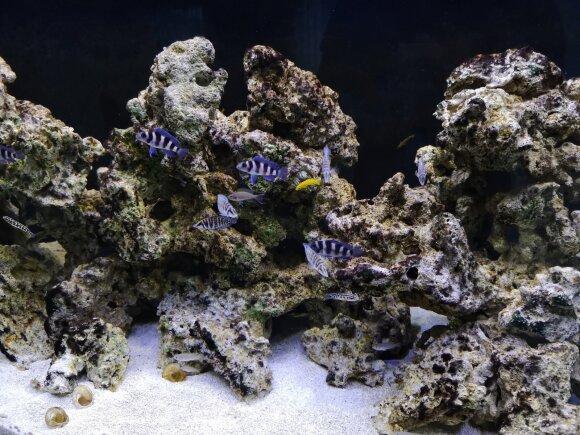 Operos solisto namų akvariume plaukioja žuvys, kurių gimtinė – Afrikoje, giliame Tanganikos ežere.