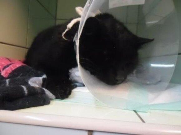 Supjaustytam katinėliui Princukui reikalinga 2-3 savaičių globa!