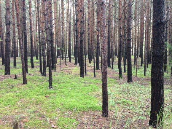Miške smagu ir per lietų