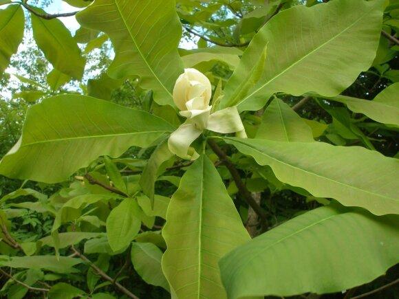 Skėtinės magnolijos žiedai ir lapai - vieni iš stambiausių.