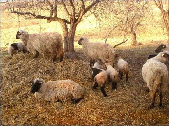 Gyvulių ūkis Utenos rajone/ Evento ir Aurelijos nuotr.
