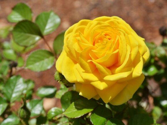 Svečiuose viename iš didžiausių rožynų