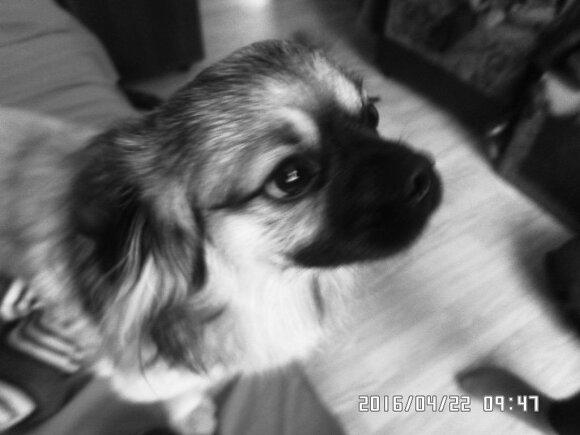 Kaune dingo šuo Rikis
