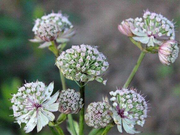 Astrancijos – itin ilgai žydintys daugiamečiai augalai.