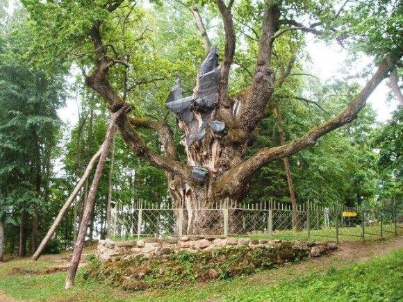 Stelmužės ąžuolas - 1500 metų