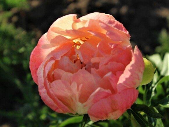 """Bijūnas """"Coral Sunset"""" – nuostabus solistas skintų gėlių puokštei."""