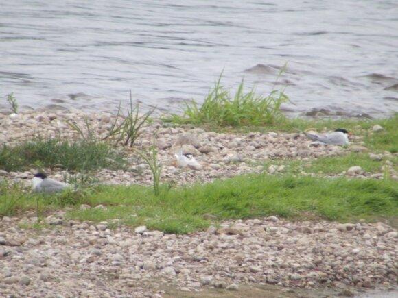 Mažosios žuvėdros Lietuvoje veisiasi daugiausiai smėlėtose ir akmenuotose didžiųjų upių salose (centre paukštis tupi lizde; T. Fujii nuotr.)