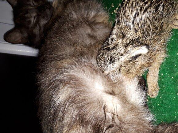 Katė žindo našlaitį kiškiuką