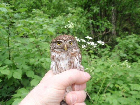 Žvirblinė pelėda ornitologo saujoje. Dariaus Musteikio nuotr.