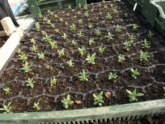 Daržovių daigų auginimo būdai