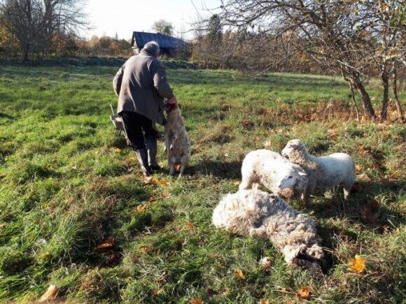 Vilkų papjautos avys