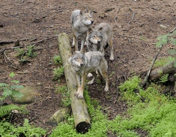 Dėl stirnų gali susikirsti vilkų ir medžiotojų interesai