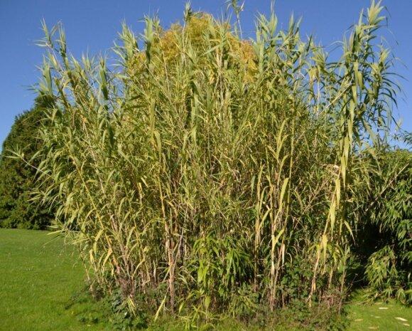 Cukranendrės – tai 5-6 m aukščio žolės, Lietuvoje jos neauga.