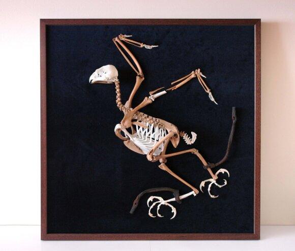 """Vištvanagio skeletas su odiniais dirželiais.Rudos spalvos kaulai – iškastiniai. Pridėtos trūkstamos skeleto dalys iš """"šiuolaikinio"""" vištvanagio skeleto. Pridėtos dalys - baltos ir gelsvos spalvos."""