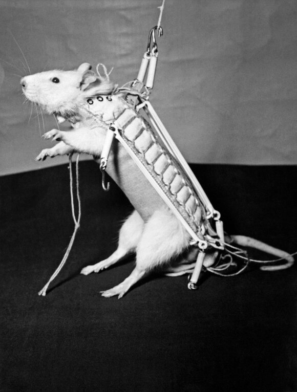 1960 metais daryta nuotrauka: žiurkė ruošiama skrydžiui į kosmosą