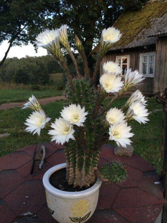 Gimtadienio dovana - 17-ika žiedų išskleidęs kaktusas