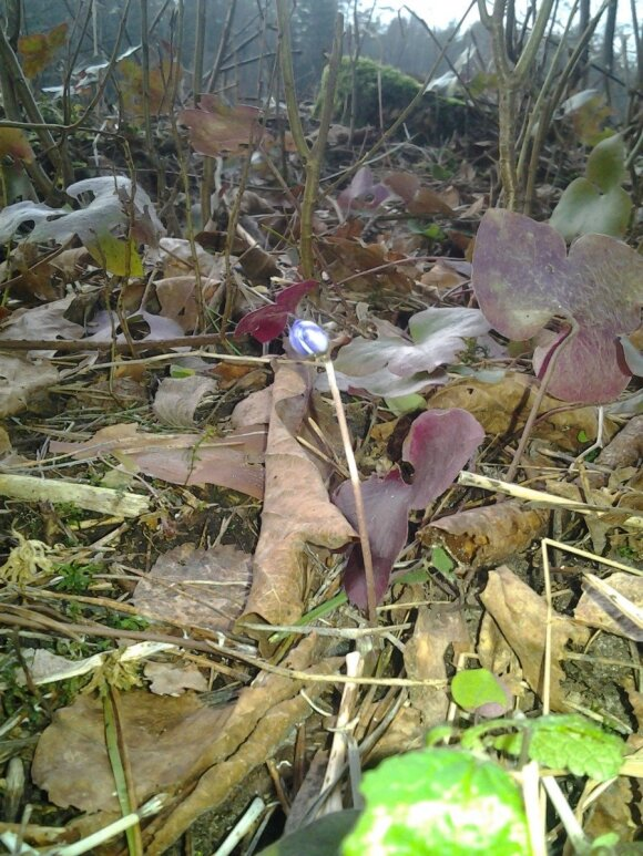 Žiemą miške žibučių rasti - ne problema