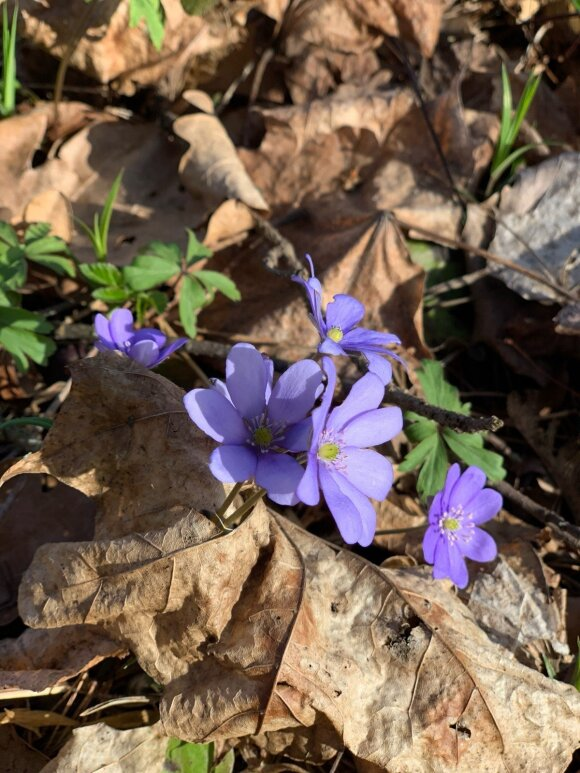 Pavasaris įpusėjo: pasidalino miške užfiksuotomis žibutėmis