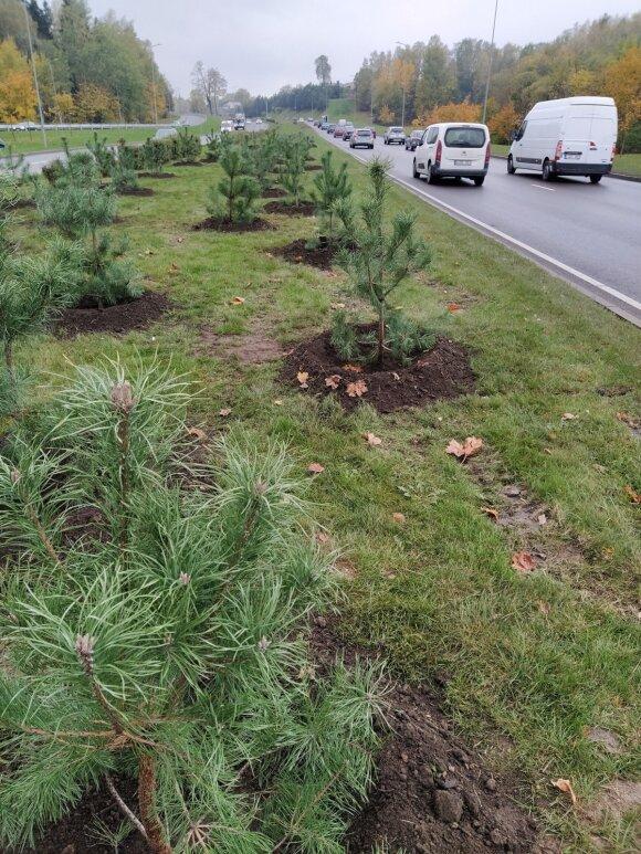 На оживленной улице столицы посадили 500 сосен