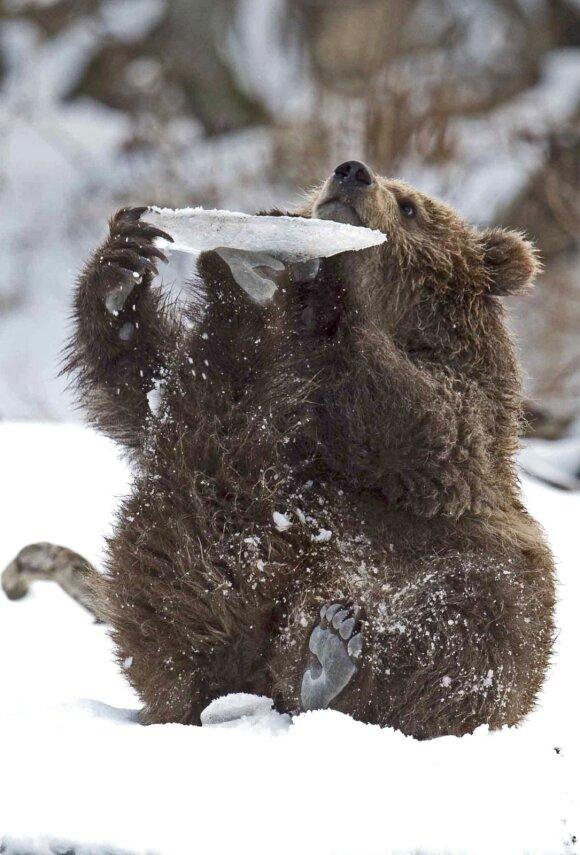 Meškinas žaidžia su ledo luitu. Sergėjaus Ivanovo nuotrauka