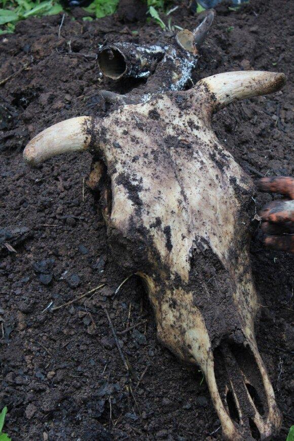 Biodinaminė žemdirbystė: kam reikia užkasti ąžuolo žievės prikimštus karvės ragus ir kitos gudrybės