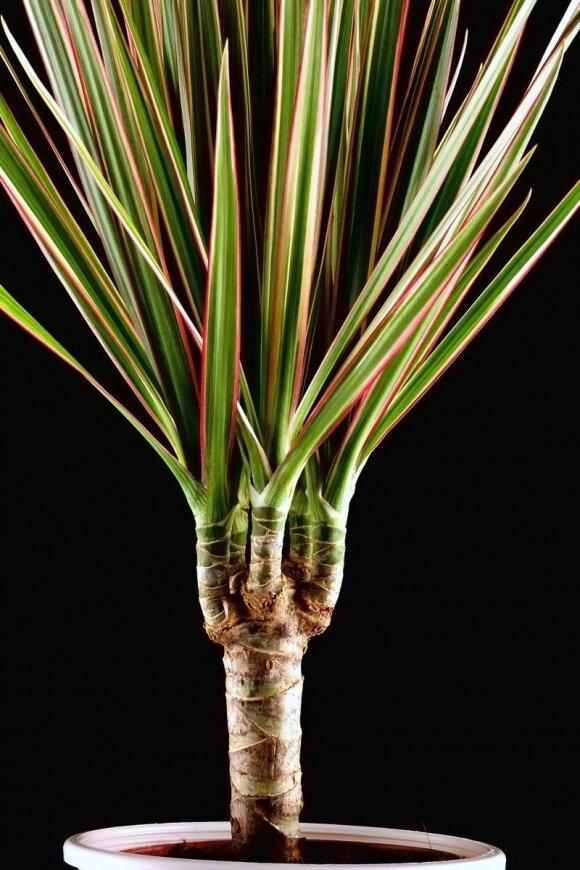 3 kambariniai augalai, ne tik valantys orą, bet ir saugantys sveikatą